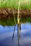 Lonely bulrush Stock Photo
