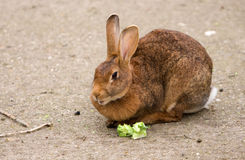 Lonely Bunny Rabbit Stock Images