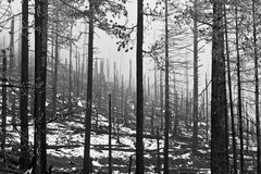 Lonely Burned Forest in Winter. The spikes of dead trees, remnants of an Oregon summer wildfire stand in the forest in the mist of cold winter royalty free stock photography
