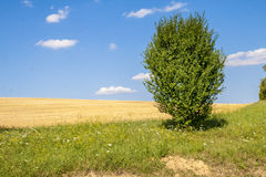 The Lonely Bush. Lonely Bush next to a wheat field Stock Photo