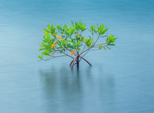 Lonely Bush. This shrub has been thriving here in Pearl Harbor East Loch, Oahu, Hawaii Royalty Free Stock Photography