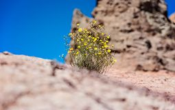Lonely bush on the volcanic rocks - Teide National Park, Tenerife. Canary Islands Royalty Free Stock Photos