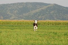 Lonely Calf on a field Stock Images