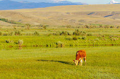 Lonely calv grazing in a meadow in Altai steppe Royalty Free Stock Photo