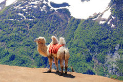 Lonely camel in high Caucasus mountains Royalty Free Stock Photos