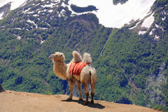 Lonely camel in high Caucasus mountains Stock Photography