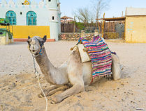 The lonely camel Royalty Free Stock Photos