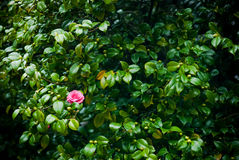 Lonely Camellia Royalty Free Stock Photo
