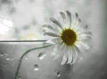 Lonely camomile. Camomile in a glass Stock Photography