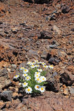 Lonely camomile in desert. Lonely camomile in volcaninc desert, El Teide, Tenerife Royalty Free Stock Photos