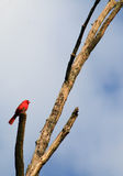 Lonely Cardinal Royalty Free Stock Image