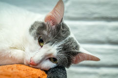 The lonely cat is going to sleep. Stock Image
