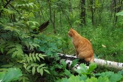 A lonely cat sits on a stump in the forest and sadly looks into the distance. big red cat walks in the green summer forest. A lonely cat sits on a stump in the stock images