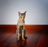 Lonely cat sitting on wooden floor. Young grey oriental cat sitting on dark wooden floor and feeling lonely Royalty Free Stock Photo