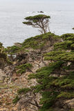 Lonely cedar tree on the edge of a cliff Stock Photos