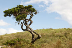 Lonely cedrus tree in a Pico island meadow. Azores. Portugal Royalty Free Stock Images
