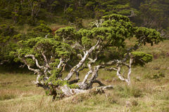 Lonely cedrus tree in a Pico island meadow. Azores. Portugal Stock Images