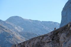 Lonely chamois in the mountains Royalty Free Stock Photo