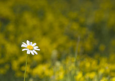 Lonely chamomile. Single chamomile with the blurred background of yellow flowers Stock Image