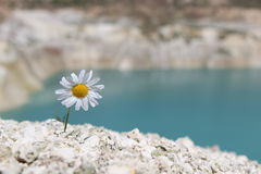 Lonely chamomile on a hillside Stock Photo
