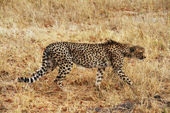 Lonely cheetah Royalty Free Stock Image