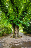Lonely chestnut tree Stock Images