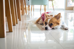 Lonely chi hua hua dog Royalty Free Stock Images