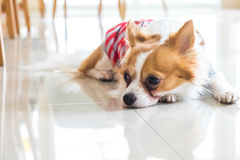 Lonely chi hua hua dog Royalty Free Stock Image