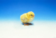 Lonely chick royalty free stock image