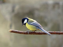 Lonely Chickadee royalty free stock photos