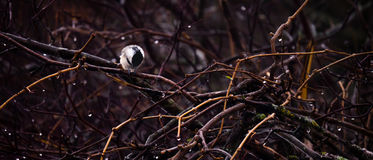 Lonely Chickadee. A lonely chickadee sits on a branch amongst a grove of trees while it rains all around it, creating an atmosphere fo loss, loneliness and Royalty Free Stock Photos