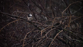 Lonely Chickadee. A lonely chickadee sits on a branch amongst a grove of trees while it rains all around it, creating an atmosphere fo loss, loneliness and Stock Photography
