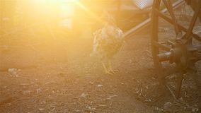 Lonely chicken in the yard. HD stock video