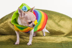 Lonely chihuahua Royalty Free Stock Images