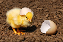 Lonely chiken hatching Royalty Free Stock Photo