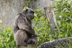 Lonely Chimpanzee. Looking at somewhere royalty free stock image