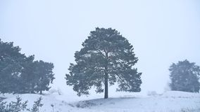 Lonely christmas tree pine grow in winter snow storm forest nature landscape Stock Photo