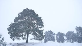 Lonely christmas tree pine grow in winter snow storm nature forest landscape stock footage