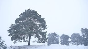 Lonely christmas tree pine grow in winter snow storm nature forest landscape Royalty Free Stock Photography