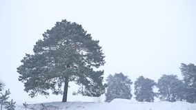 Lonely christmas tree pine grow in winter snow storm nature forest landscape Royalty Free Stock Photo