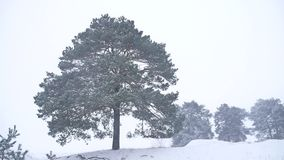 Lonely christmas tree pine grow in winter snow storm nature landscape forest. Lonely christmas tree pine grow winter snow storm nature landscape forest stock footage