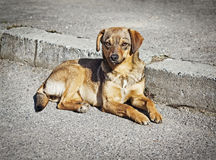 Lonely clever mongrel dog outdoors Royalty Free Stock Image