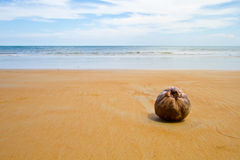 Lonely coconut. Coconut found lying on a sandy beach royalty free stock photo