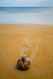 Lonely coconut. Coconut found lying on a sandy beach royalty free stock photos