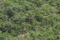 Lonely Coconut Tree in Rainforest. At Samui island, Thailand Stock Photos