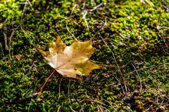Lonely, colorful autumn maple leaf in mosses stock image
