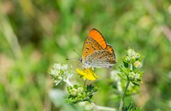Common Blue Polyommatus icarus butterfly on a wild flower at summer season. Lonely Common Blue Polyommatus icarus butterfly on a wild flower at summer season Stock Photography