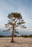 Lonely conifer tree Stock Photos
