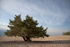 Lonely conifer tree Royalty Free Stock Photo