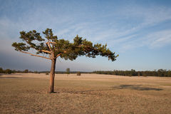 Lonely conifer tree Royalty Free Stock Image